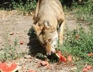 Lefoglalt dinnyét csemegéztek a vadaspark lakói