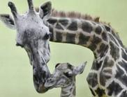 Tizennyolcadik borját ellette egy zsiráfmama