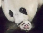 Hármasikreket hozott a világra egy panda, de csak egy maradt életben