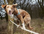 Ozzy, a Guiness rekorder kötéltáncos kutya
