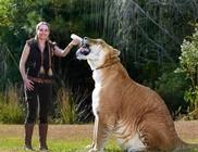 Hercules, a világ legnagyobb macskaféléje