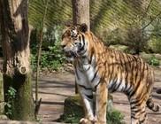 Halálra marcangolta gondozóját egy tigris