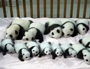 Megmutatták a 14 pandabocsot Kínában