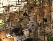 Kutyák halmokban a zagyvarékasi önkormányzat udvarám
