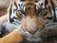 Majdnem leharapta gondozója karját egy tigris