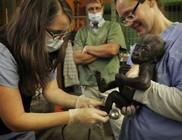 Gyermekkórházban kezelik a magára hagyott kis gorillát