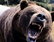 Medve támadott meg egy csipkebogyót szedő nőt