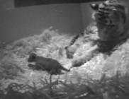 Ritka szumátrai tigriskölyök született a Londoni Állatkertben