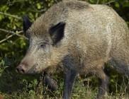 Elgázolták Swino-t a részeges vaddisznót