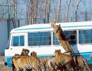 Szabadon mászkálnak a tigrisek Kína egyik külterületi részén