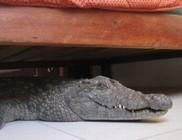 Hatósági engedély nélkül tartott otthon krokodilt egy férfi