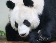 Tigriskölyköt és pandabocsot gyászol az Egyesült Királyság