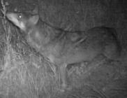 Farkast lőtt ki egy eszetlen orvvadász