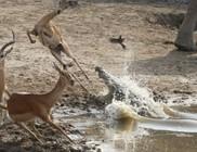 Így menekült meg a krokodiltól az impala
