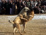 Újra kutyaviadalokon élvezkednek Afganisztánban