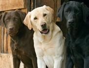 Amerika kedvenc kutyája a labrador retriever