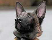 Mindkét orrát tudja használni a különleges németjuhász