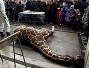 Rossz génállománya miatt végezték ki a 18 hónapos zsiráfot