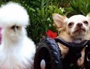 A csibe és a tolószékes kutyus elválaszthatatlan barátok lettek