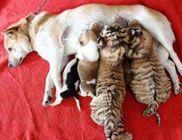 Kutyamama gondoskodik a kitagadott tigrisekről