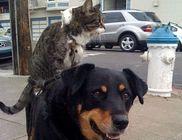 Ez aztán a barátság: a hátán viszi a kutya a macskát és a patkányt