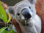 Így fotózza saját magát a koala