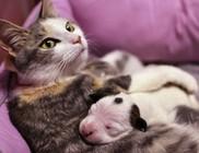 Macska fogadta be az újszülött pitbullt