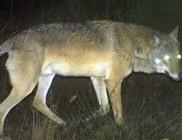 Farkasszerű lényt üldöz fél Németország - fotóval