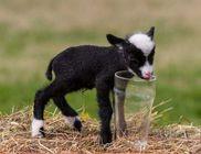 Mindössze 70 dekás a világ legkisebb báránya