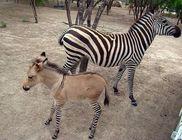 Különös kiscsikó: anyukája zebra, apukája szamár