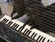 Zenélő állatok