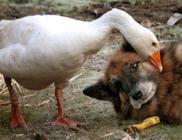 Rex a kutya és Gerald a liba egymásba szerettek