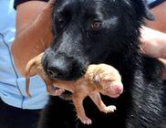 A kóbor kutyus segített a mentőcsoportnak kimenteni a kutyakölyköket a csatornából