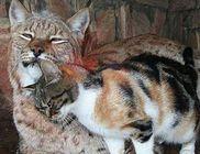 Együtt él a kóbor cicus és a hiúz