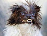 Egy csivava-shitzu keverék kuytust választottak meg a világ legcsúnyább kutyájának