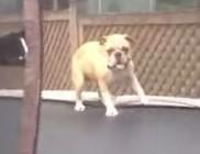 Trambulinon ugráló kutyus - vicces videó