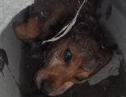 Szegény kutyust elütötték, magára hagyták, csatornában pusztult el