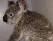 Majdnem 100 kilométert utazott az autó alvázán a koala
