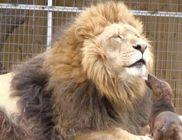 Különleges barátság az apró tacskó és a sérült oroszlán között