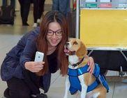 A repülőtér legcukibb alkalmazottja: Sherlock a beagle