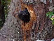 Egy fa törzsébe szorultak be a medvebocsok