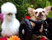Megható barátság a kétlábú csivava és a selyemtyúk között