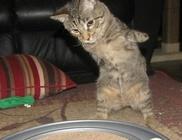 Két lábon is vidám játszadozik a cicus