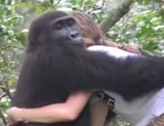 Megható találkozás: 12 év után is emlékeztek a gorillák arra a lányra, akivel gyermekként játszottak