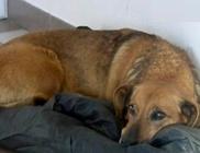 Egy éve hunyt el a gazdája, de a kutyus még mindig a kórház előtt várja