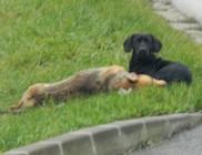 Halott barátját őrizte az út szélén a kóbor kutyus