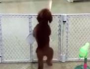 Örömtáncot jár a kutyus, mikor viszont látja gazdiját