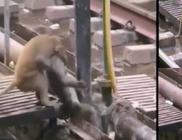 20 percen át élesztette újra társát egy majom