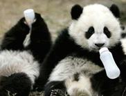 Így néz ki egy pandaóvoda