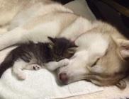 A husky kutyus gondoskodása gyógyította meg a cicust
